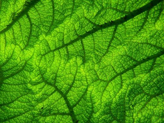close up of giant leaf