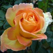 rosie amber 1